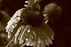 Blume coverd durch Regentropfen stockbild