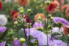 Blume Dahlia Graceland Lizenzfreie Stockfotos