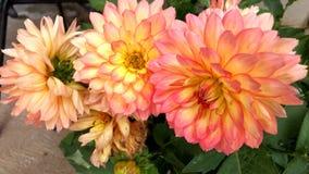 Blume Dalia Lizenzfreie Stockbilder