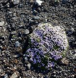 Blume in den Bergen bei Landmannalaugar Stockfoto