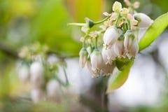 Blume der Blaubeere Stockfotografie