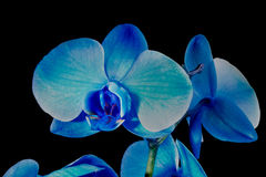 Blume der blauen Orchidee Stockbild
