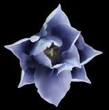 Blume der blauen Tulpe Schwarzes lokalisierter Hintergrund mit Beschneidungspfad nahaufnahme Keine Schatten Für Auslegung Stockbild