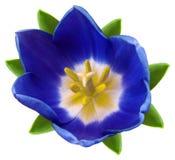 Blume der blauen Tulpe Weiß lokalisierter Hintergrund mit Beschneidungspfad nahaufnahme Keine Schatten Für Auslegung Stockfotos