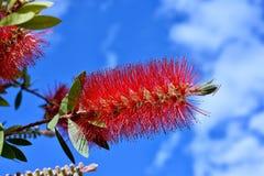 Blume der Blume Callistemon-Abschlusses oben im blauen Himmel lizenzfreie stockbilder