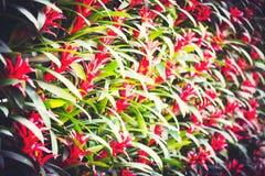 Blume der Bromelie, Aechmea-fasciata im Garten Hintergrund Stockbilder