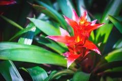 Blume der Bromelie, Aechmea-fasciata im Garten Hintergrundtext Lizenzfreies Stockbild