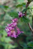 Blume der Chaparral-Korinthe, Ribes malvaceum stockfotos
