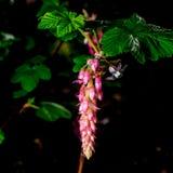 Blume der Chaparral-Korinthe, Ribes malvaceum, auf schwarzem Hintergrund stockfoto