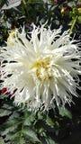 Blume der Chrysantheme flaumig stockbilder