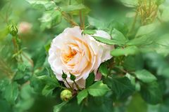 Blume der Creme stieg in den Sommergarten Englisch Rose Crocus R stockbild