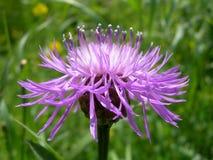 Blume der Distel Lizenzfreie Stockfotos