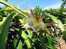 Blume der Drachefrucht stockfotos