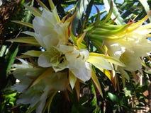 Blume der Drachefrucht stockfotografie