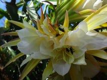 Blume der Drachefrucht lizenzfreies stockbild