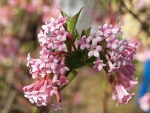 Blume der Duftschneebälle Lizenzfreies Stockfoto