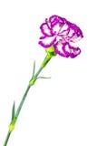 Blume der Gartennelke lizenzfreie stockbilder