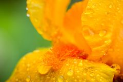 Blume der gelben Iris, die im Garten blüht Stockbild