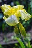 Blume der gelben Iris im Garten Lizenzfreie Stockbilder