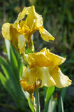 Blume der gelben Iris im Garten Stockfoto
