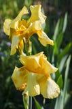 Blume der gelben Iris im Garten Stockfotografie