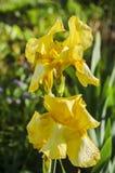 Blume der gelben Iris im Garten Stockbilder