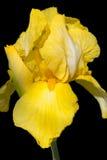 Blume der gelben Iris lokalisiert auf Schwarzem Lizenzfreie Stockfotografie