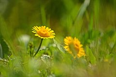 Blume der gelben Kamille oder des goldenen Gänseblümchens auf natürlichem undeutlichem Hintergrund Stockfoto