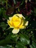 Blume der Gelbrose im Garten auf einem Busch, Nahaufnahme, selektiver Fokus, flacher DOF Lizenzfreies Stockbild