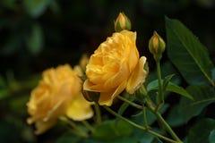 Blume der Gelbrose im Sommergarten Englisch Rose Graham lizenzfreie stockfotos