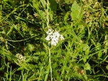 Blume der gemeinen Schafgarbe, die draußen in einem Garten blüht Stockfotos