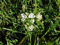 Blume der gemeinen Schafgarbe, die draußen in einem Garten blüht Lizenzfreies Stockbild