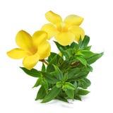 Blume der goldenen Trompete lokalisiert auf weißem Hintergrund lizenzfreies stockfoto