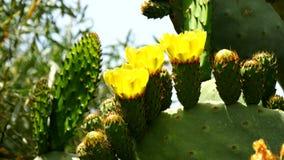 Blume der Kaktusfeige (4K) stock video footage