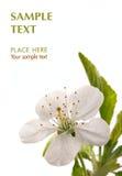 Blume der Kirsche Stockbilder