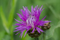 Blume der kriechenden Distel Lizenzfreies Stockbild
