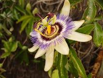 Blume der Leidenschaft Lizenzfreie Stockfotos