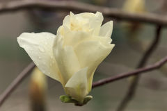 Blume der Magnolie Stockfotos