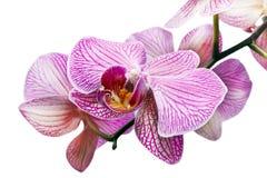 Blume der Orchidee Lizenzfreies Stockfoto