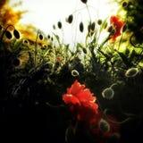 Blume der orientalischen Mohnblume Stockfoto