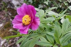 Blume der Pfingstrosennahaufnahme Lizenzfreies Stockbild