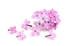 Blume der purpurroten Flieder. Stockbilder