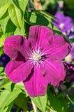 Blume der purpurroten Klematis in der Blüte stockfotos