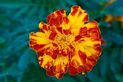 Blume der Ringelblume Lizenzfreie Stockbilder