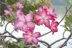 Blume der rosa Wüstenrose-oder Impala-Lilie oder der Spott-Azalee Lizenzfreie Stockbilder