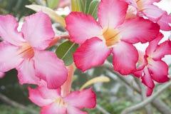 Blume der rosa Wüstenrose-oder Impala-Lilie oder der Spott-Azalee Stockfoto