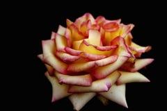 Blume der Rose Lizenzfreies Stockbild