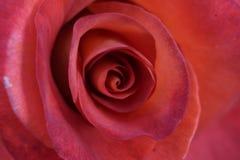 Blume der Rose Stockbild