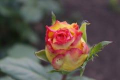 Blume der Rose Lizenzfreies Stockfoto
