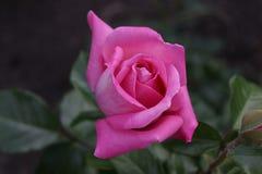 Blume der Rose Stockfotografie